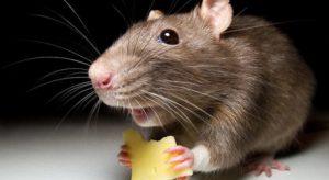 Чем и как вывести крыс из дома