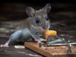 Чем и как вывести мышей из дома