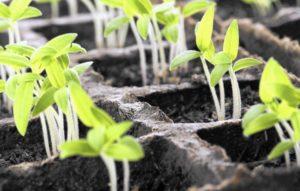 Как бороться с плесенью в рассадных ящиках