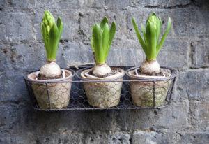 Как хранить луковицы гиацинтов после цветения в домашних условиях