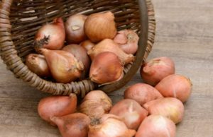Как хранить луковицы тюльпанов до посадки