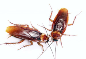 Как можно вывести домашних тараканов раз и навсегда
