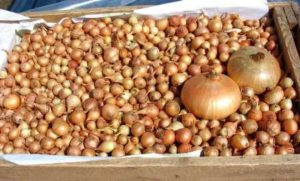 Как нужно хранить лук-севок весной до посадки